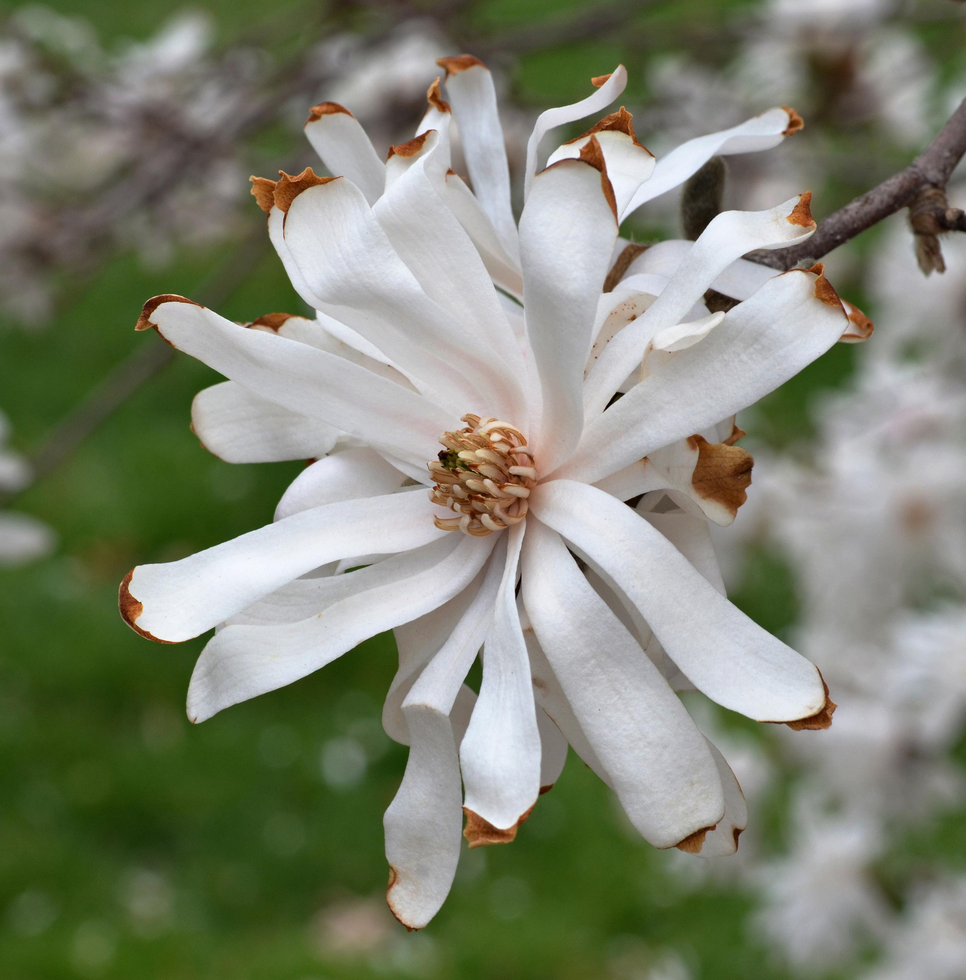 Filestar Magnolia Magnolia Stellata Royal Star Flower High Dof