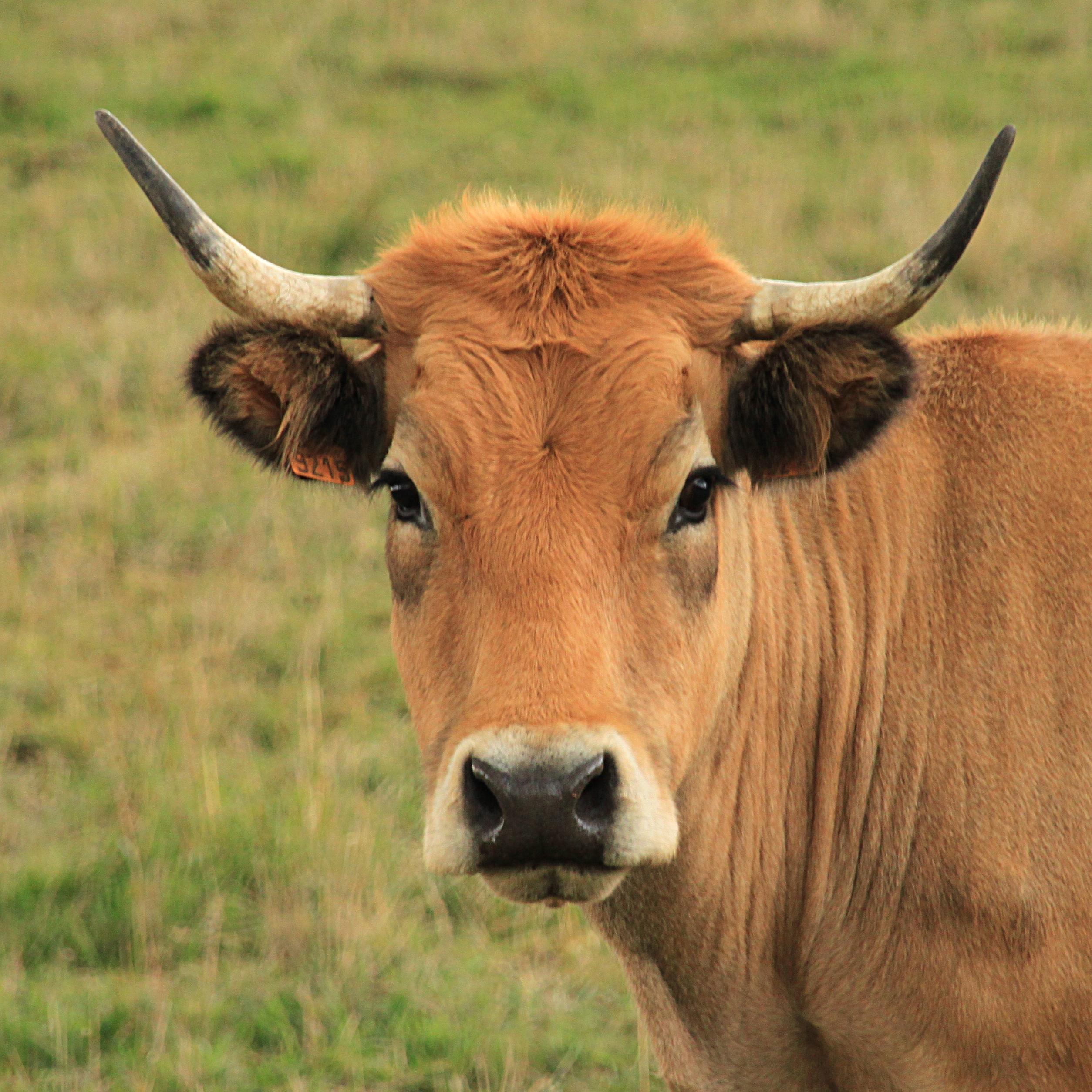 Vaches derni res nouvelles de l 39 homme - Photo de vache drole ...