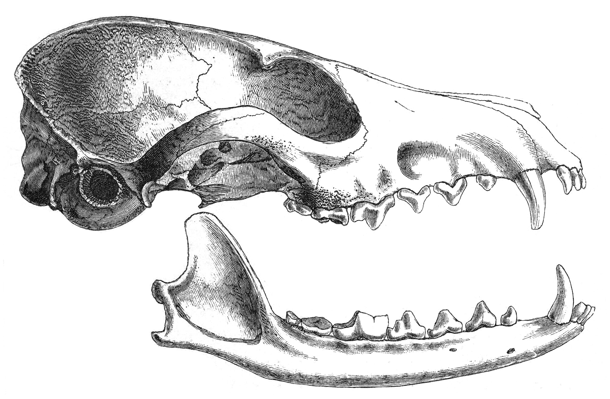 https://upload.wikimedia.org/wikipedia/commons/d/d8/Vpusillaskull.jpg