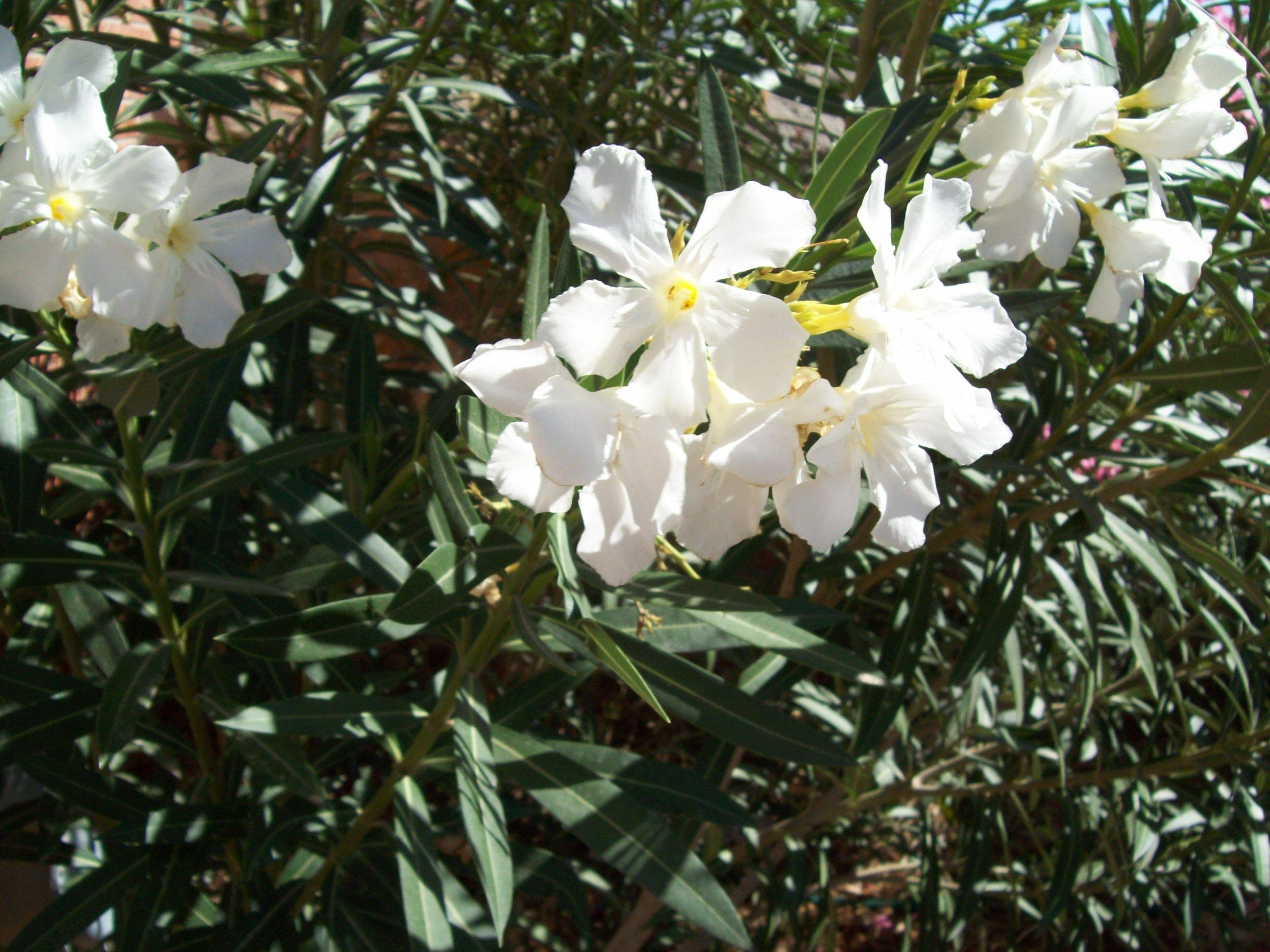Filewhite Oleanderg Wikimedia Commons
