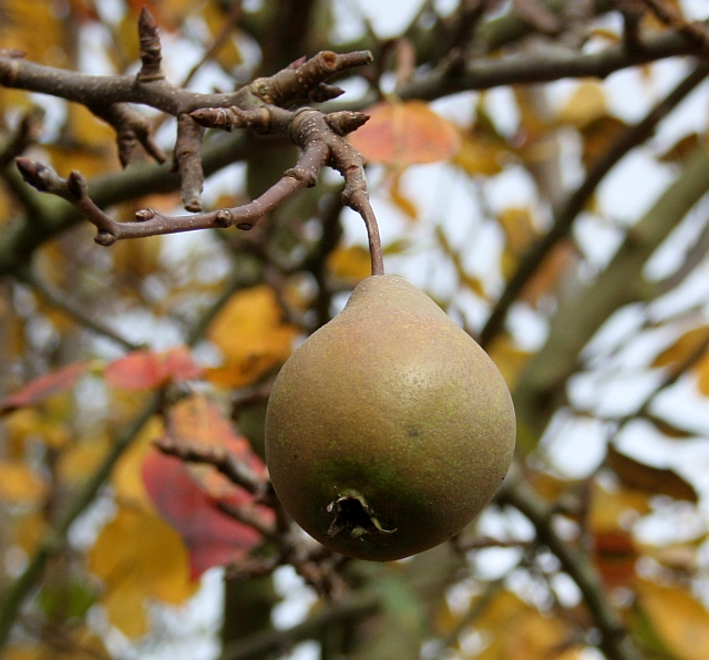 File:Worcester Black Pear - geograph.org.uk - 1559141.jpg