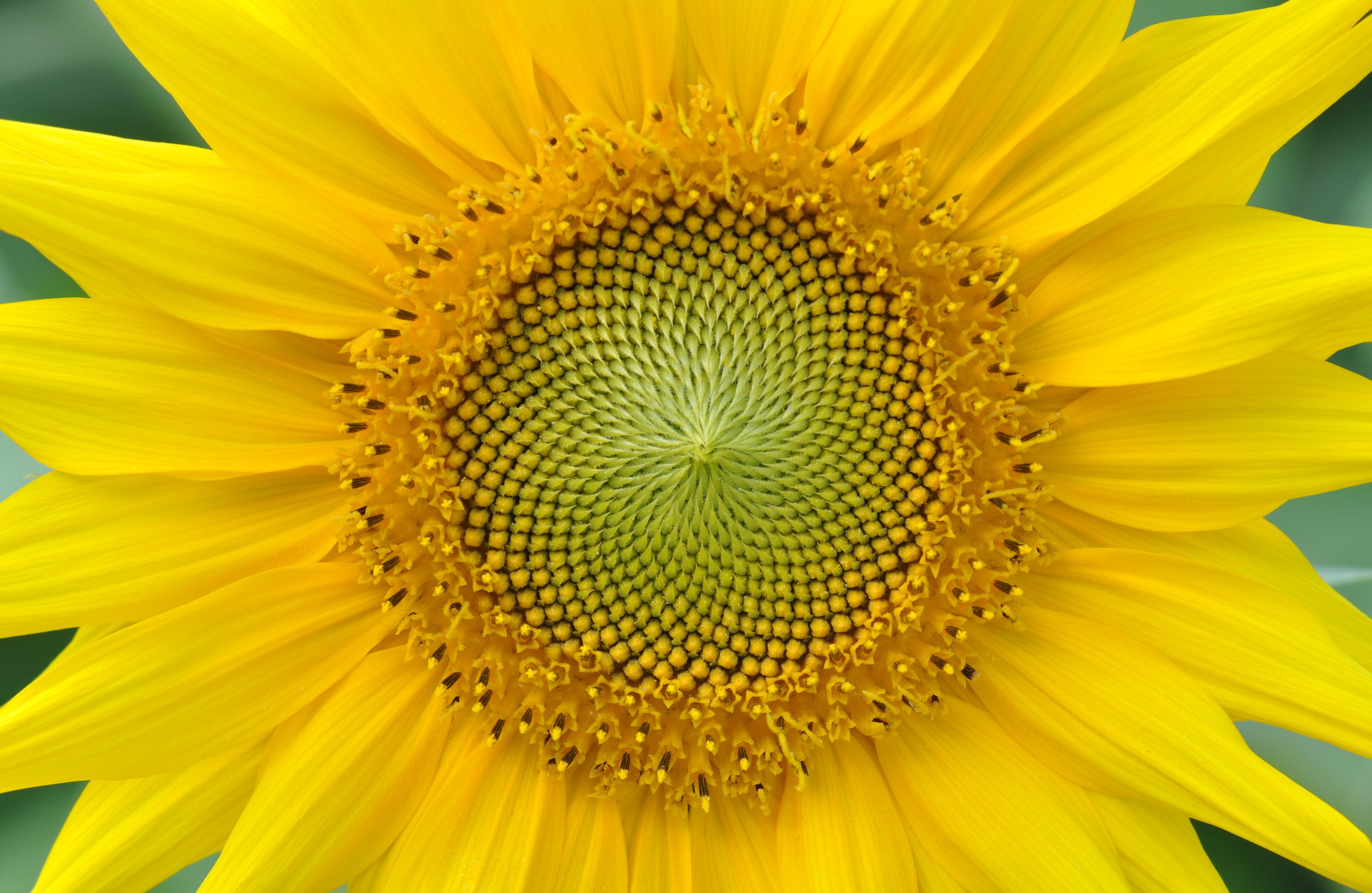 File Yellow sunflower ...