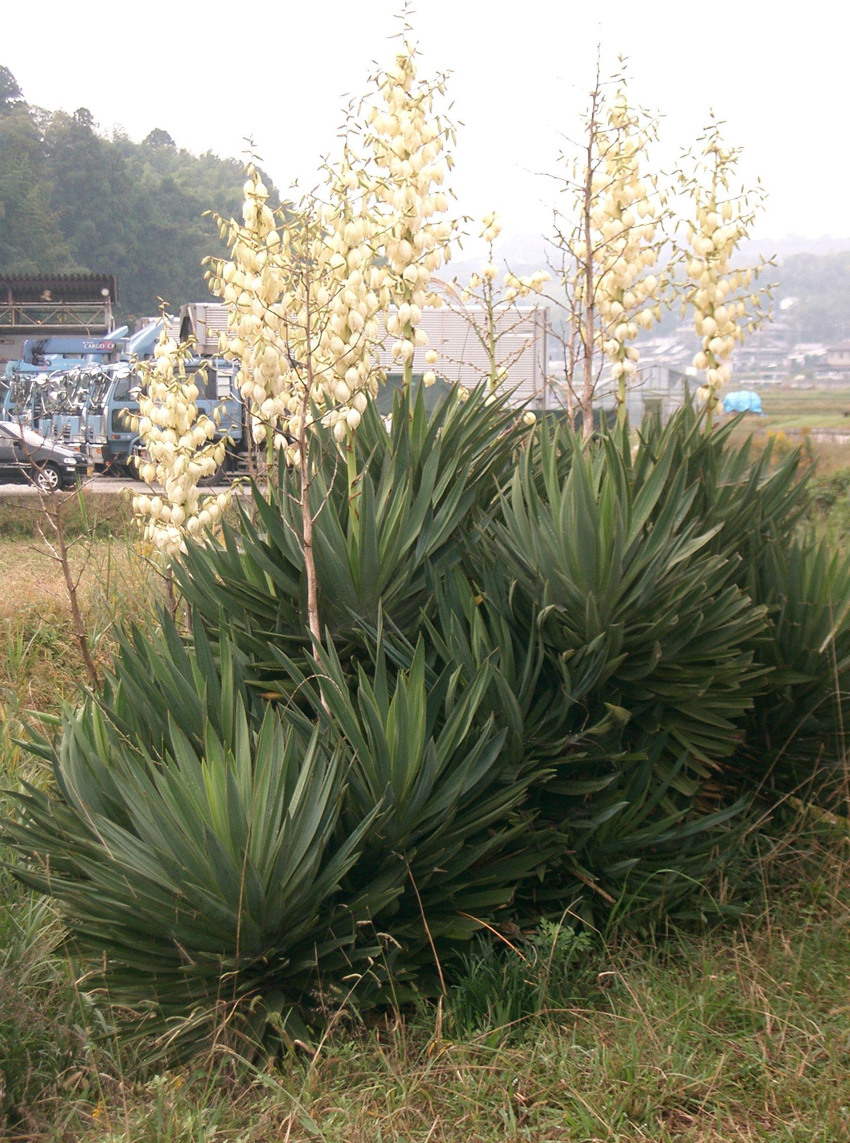 file yucca wikimedia commons