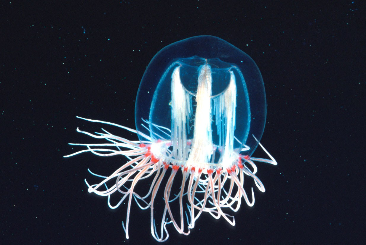 the immortal jellyfish turritopsis nutricula The immortal jellyfish, known scientifically as turritopsis nutricula, was discovered in the mediterranean sea in 1883, but its unique regeneration was not known until the mid-1990s genetically identical immortal jellyfish have also been found off japan, spain, and panama (the atlantic side.
