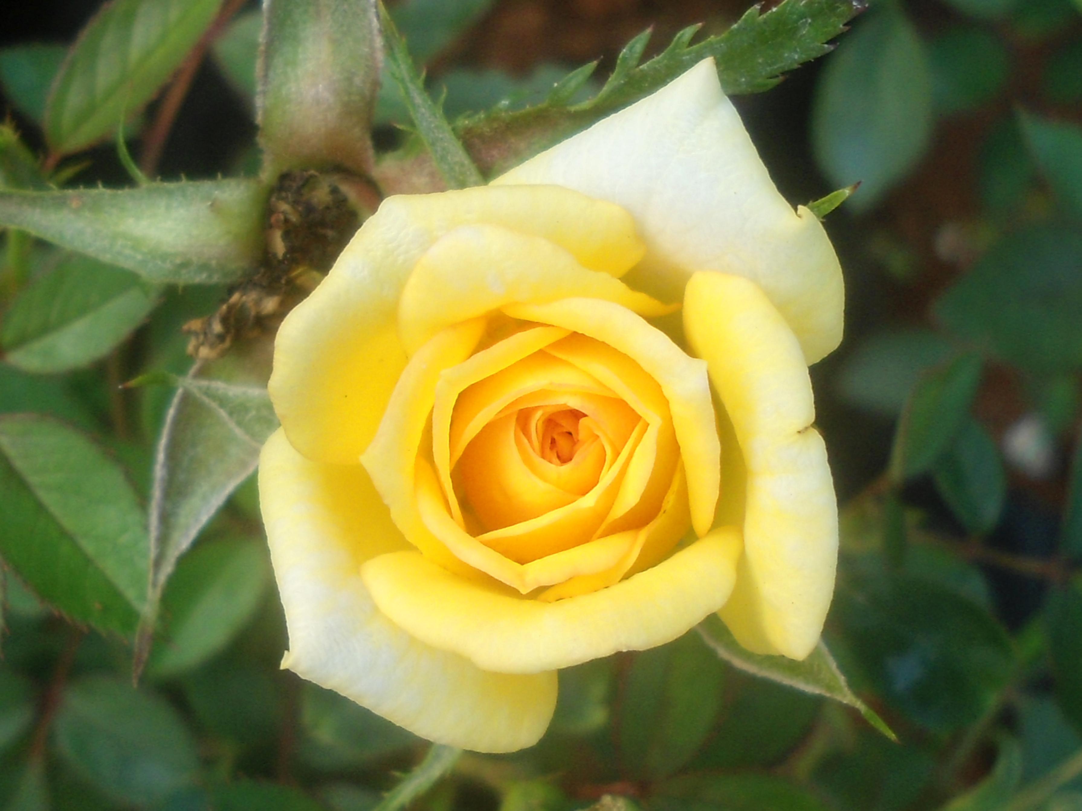 (Rosa Cultivators) at Marikavalasa 01.JPG