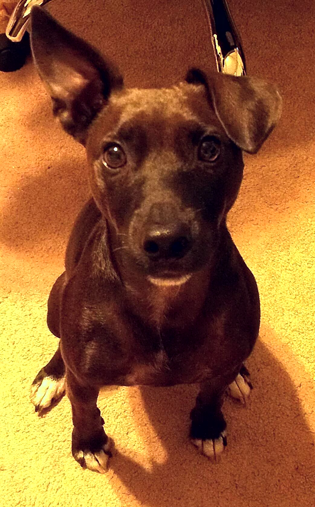 File:3 year old Patterdale Terrier and Jack Russell Terrier Mix.jpg ...