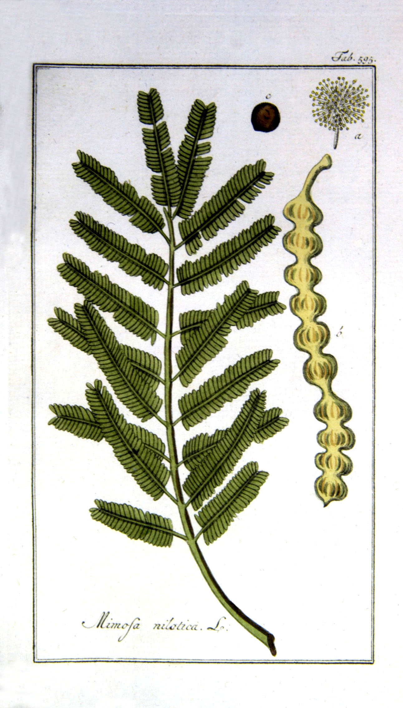 Acacia nilotica/Vachellia nilotica