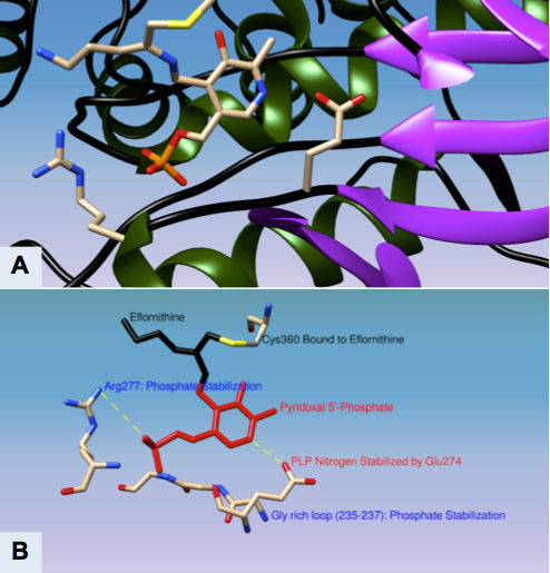 "(A) Magnified Active Site of Ornithine Decarboxylase with PLP-Eflornithine-Cys-360 intermediate complex (B) Important residues in ODC active site with intermediate state of Eflornithine (black) and PLP (red) complex[27] Derived from Grishin, Nick V., et al. ""X-ray structure of ornithine decarboxylase from Trypanosoma brucei: the native structure and the structure in complex with α-difluoromethylornithine."" Biochemistry 38.46 (1999): 15174-15184. PDB ID: 2TOD"