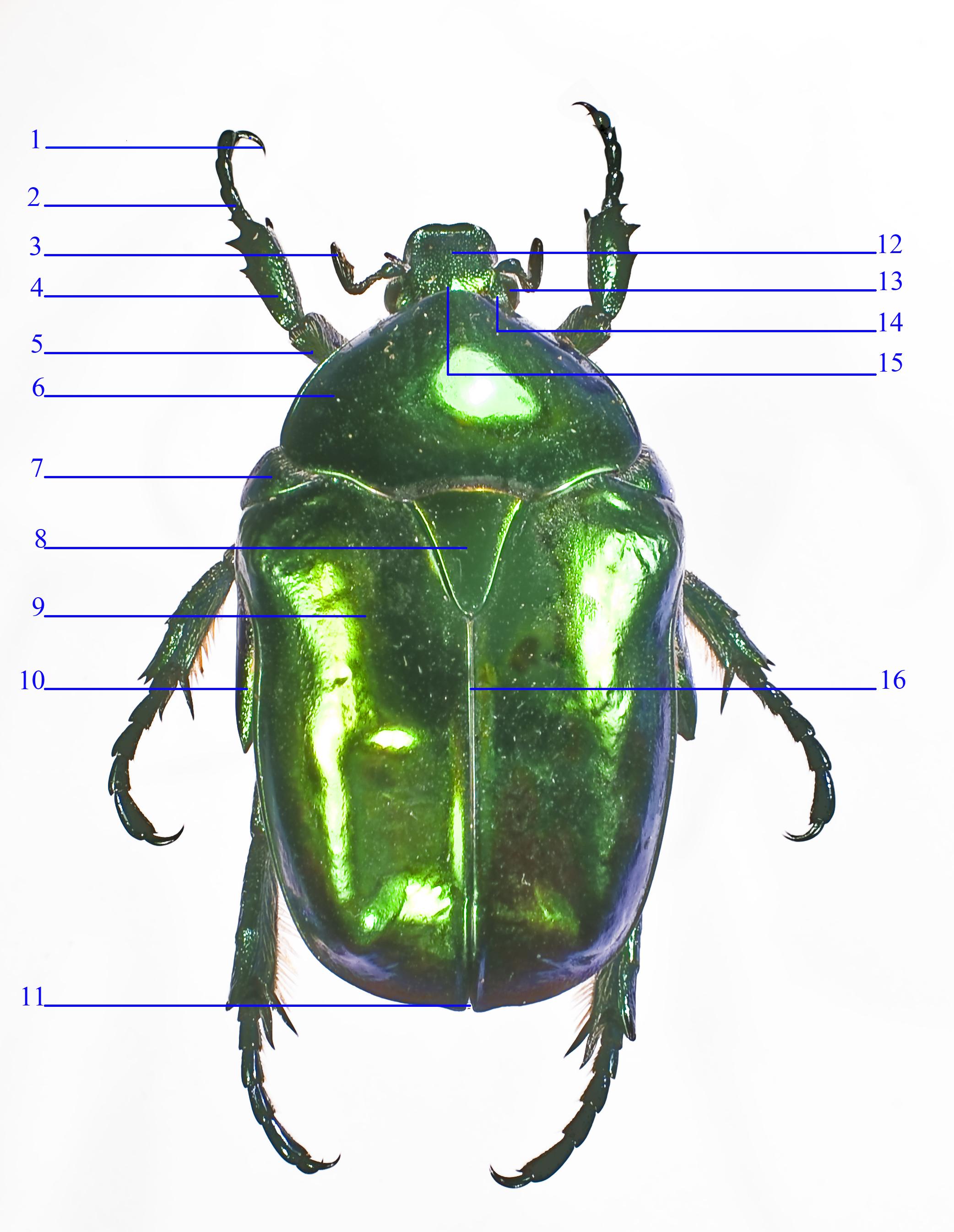 File:Anatomie Cétoine (face dorsale).jpg - Wikimedia Commons