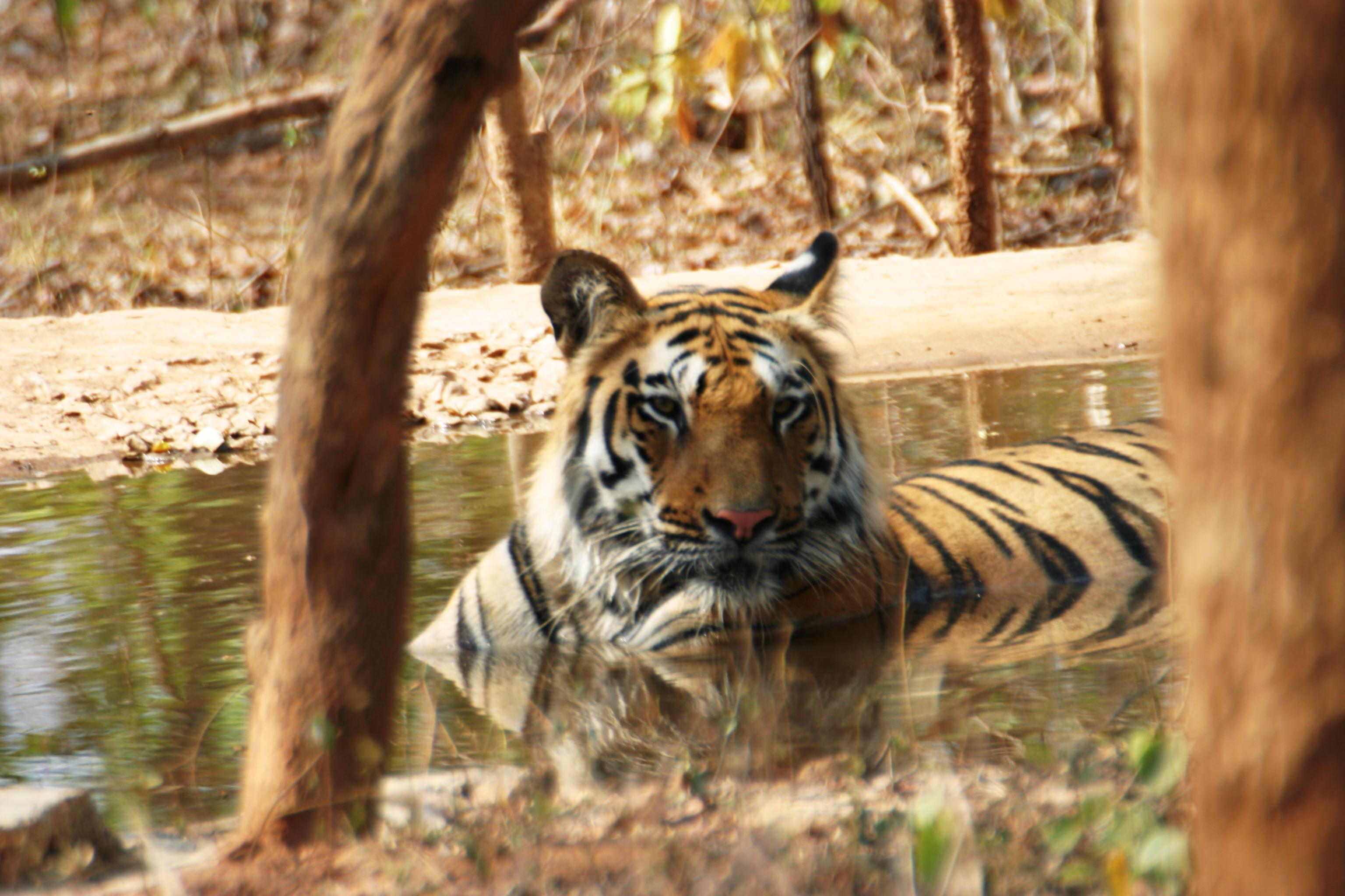Tigre de Parc National de Bandhavgarh