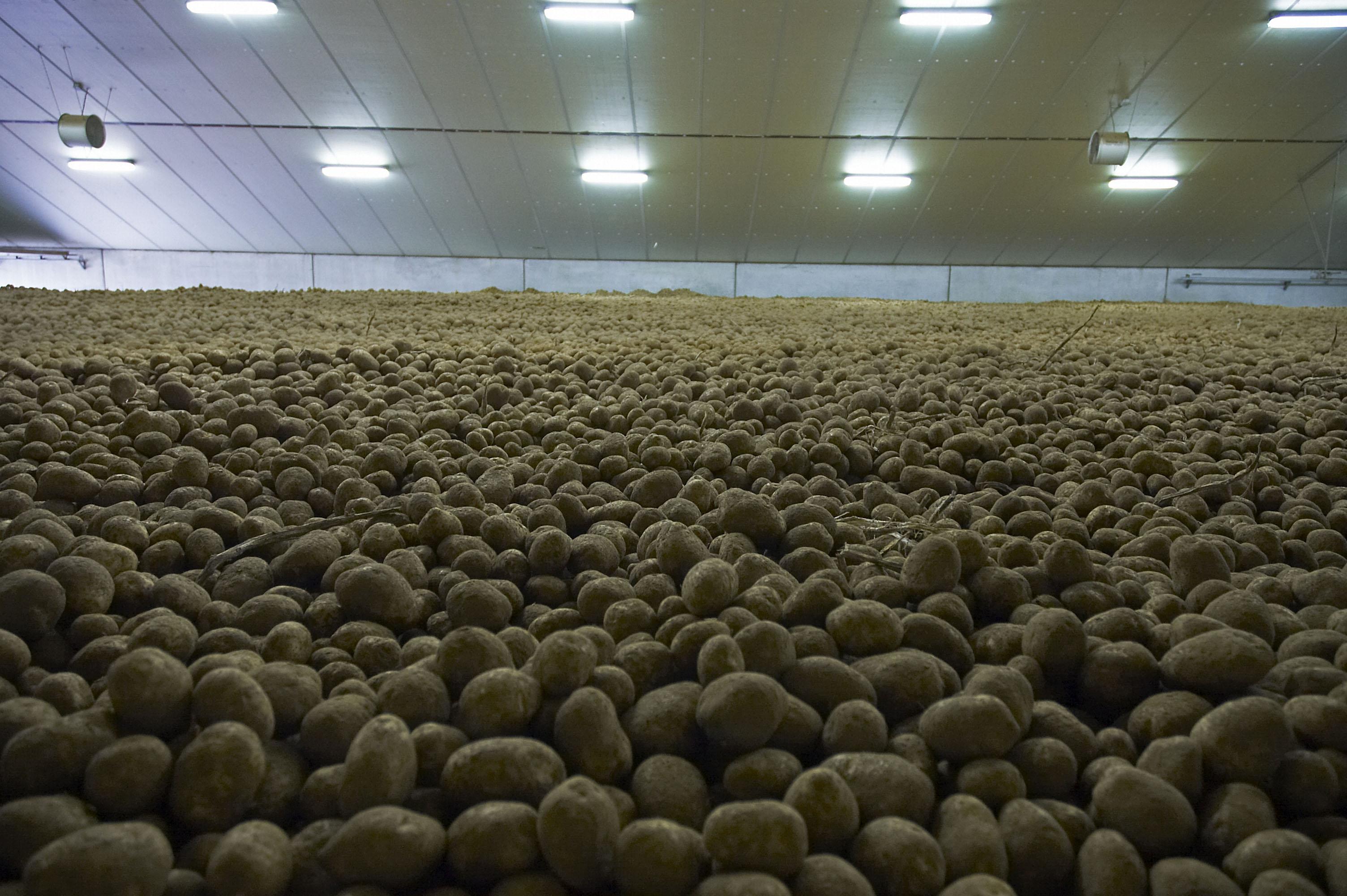 Maladie vermiculaire de la pomme de terre - Comment conserver pomme de terre ...