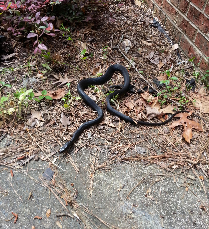 File:Black rat snake (Pantherophis alleghaniensis) in Durham