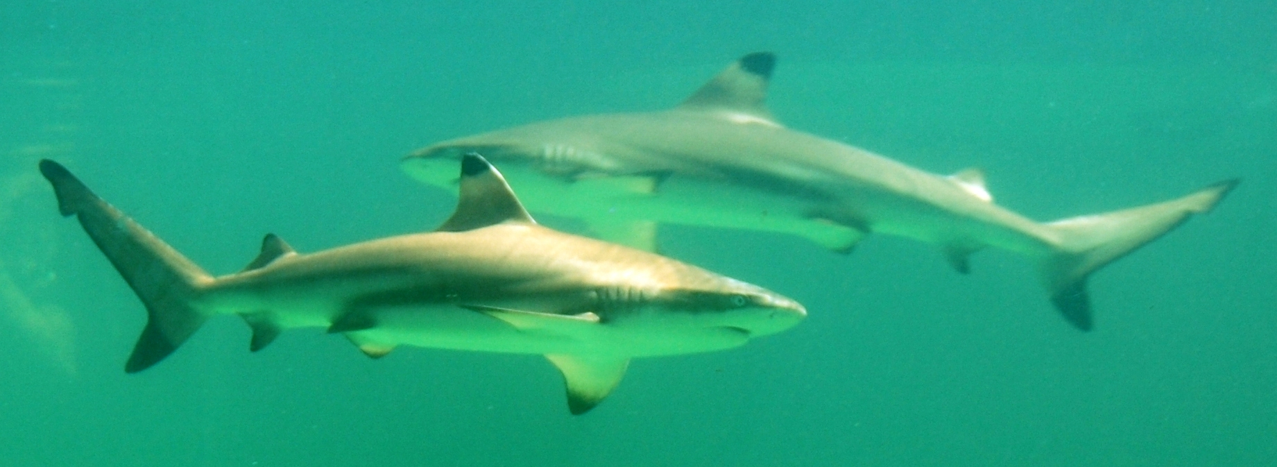 File:Blaktip sharks @the green connection.JPG - Wikimedia Commons