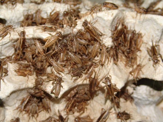 Bolikhamxay Thabok Crickets