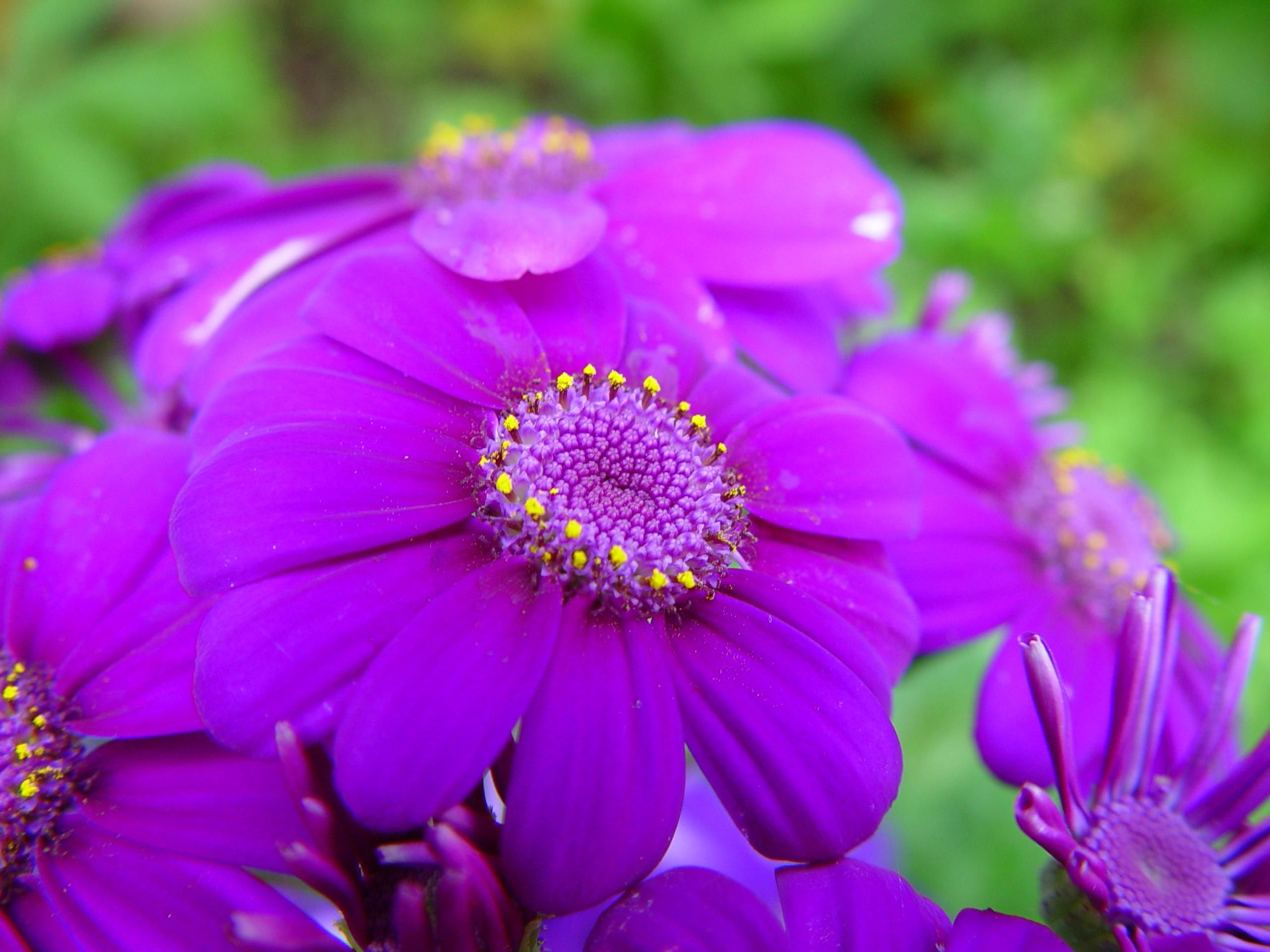 filebright purple flowers  wikimedia commons, Beautiful flower
