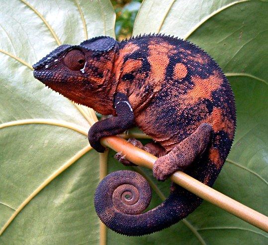 Amazing Colorful Chamilions: Amazing Technicolor Wildlife