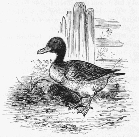 file charming duck drawing     wikimedia commons