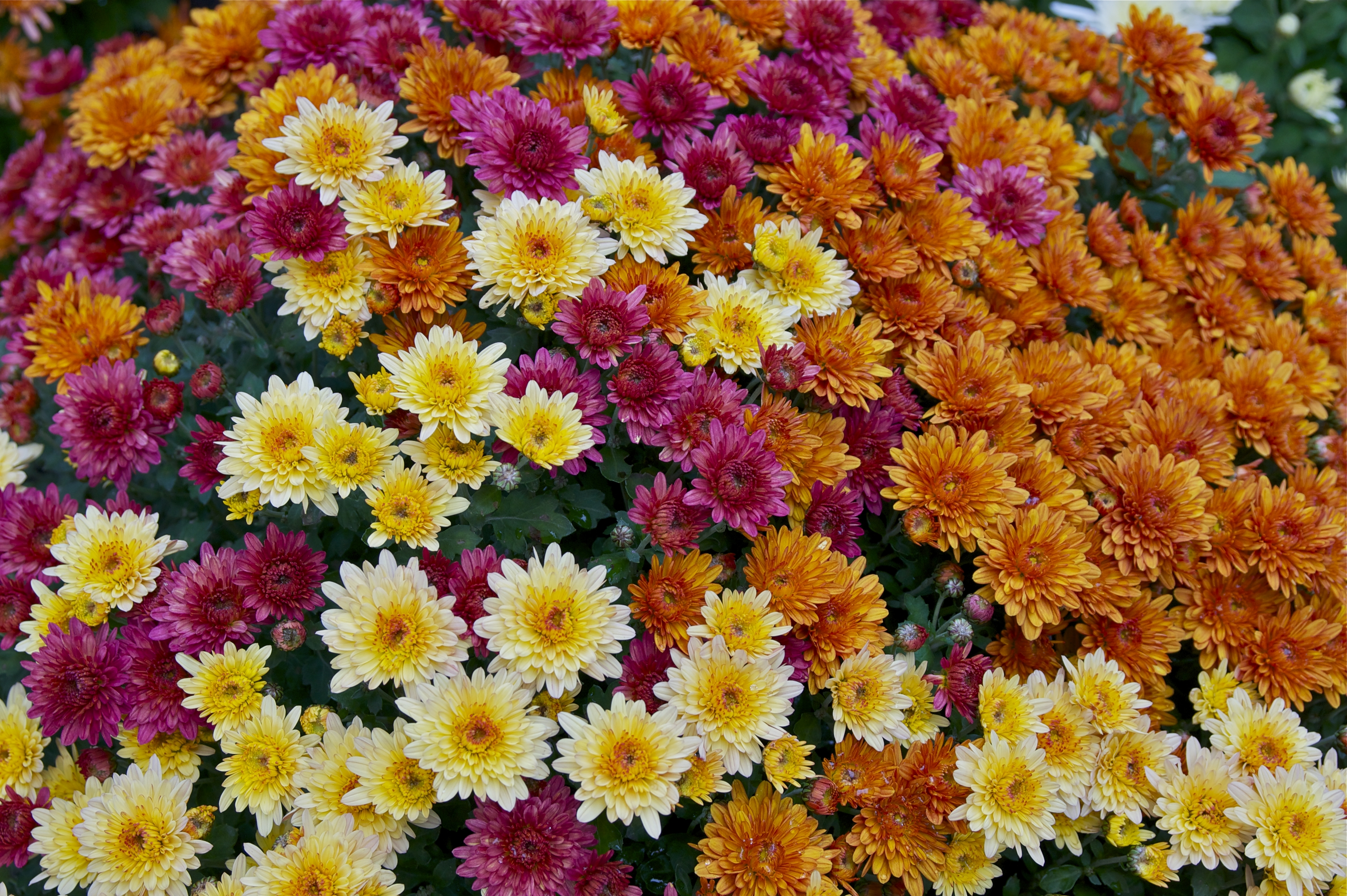 Chrysanthemum Wikipedia