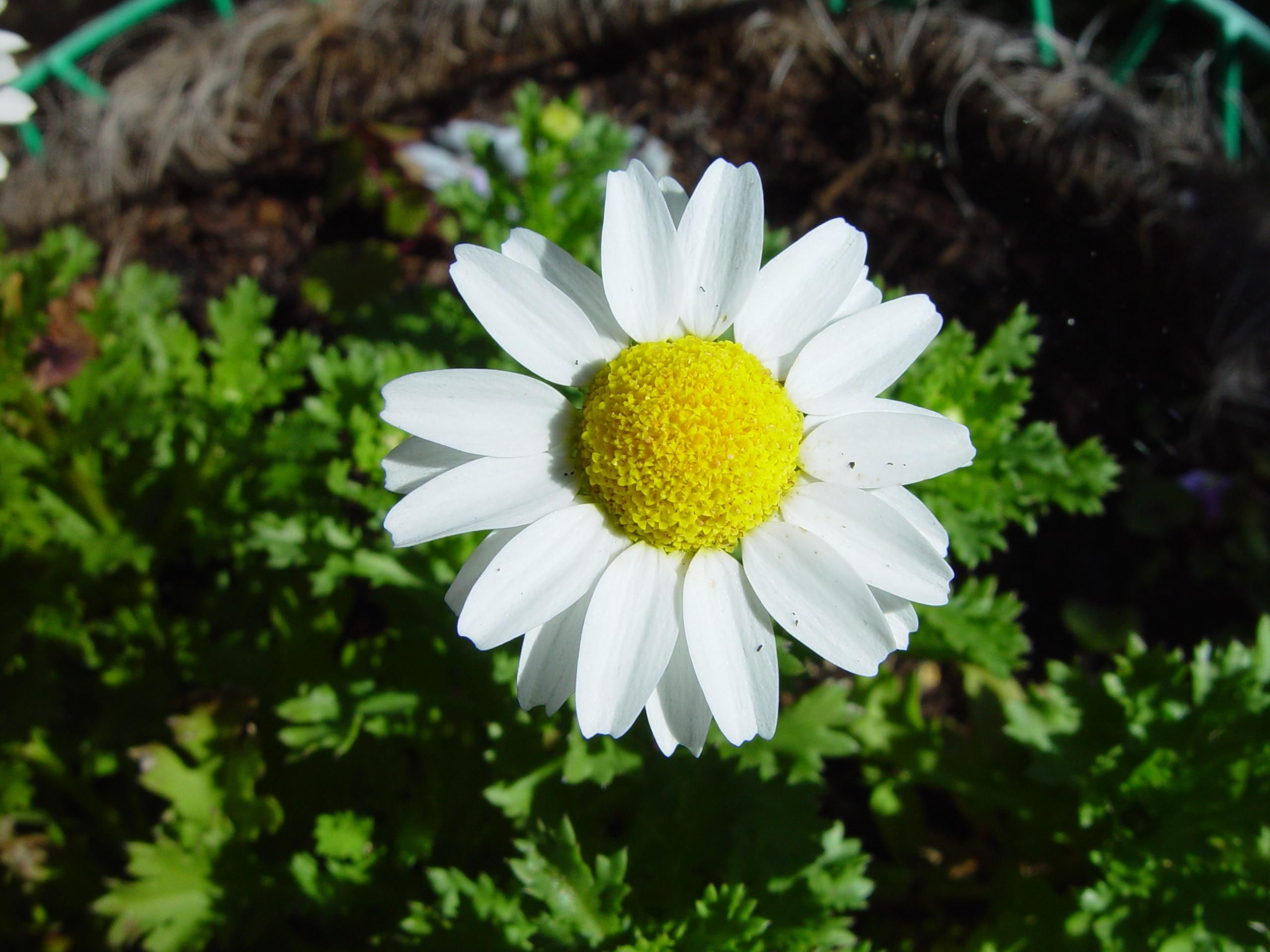 Filedaisy flower 1g wikimedia commons filedaisy flower 1g izmirmasajfo