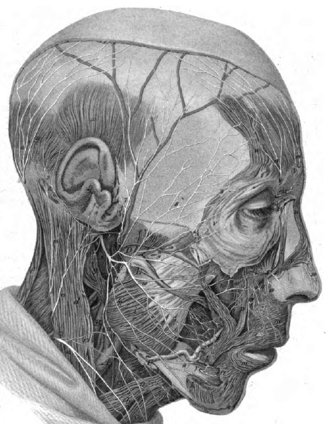 Datei:Dr Ruedingers Gehirnnerven Tafel IX Fig.1 N.facialis.jpg ...