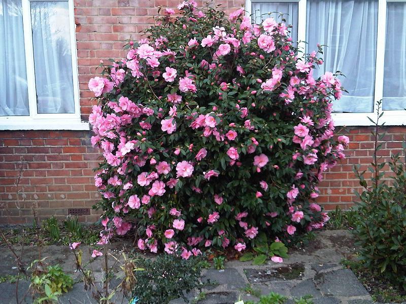 file ericales camellia japonica london. Black Bedroom Furniture Sets. Home Design Ideas
