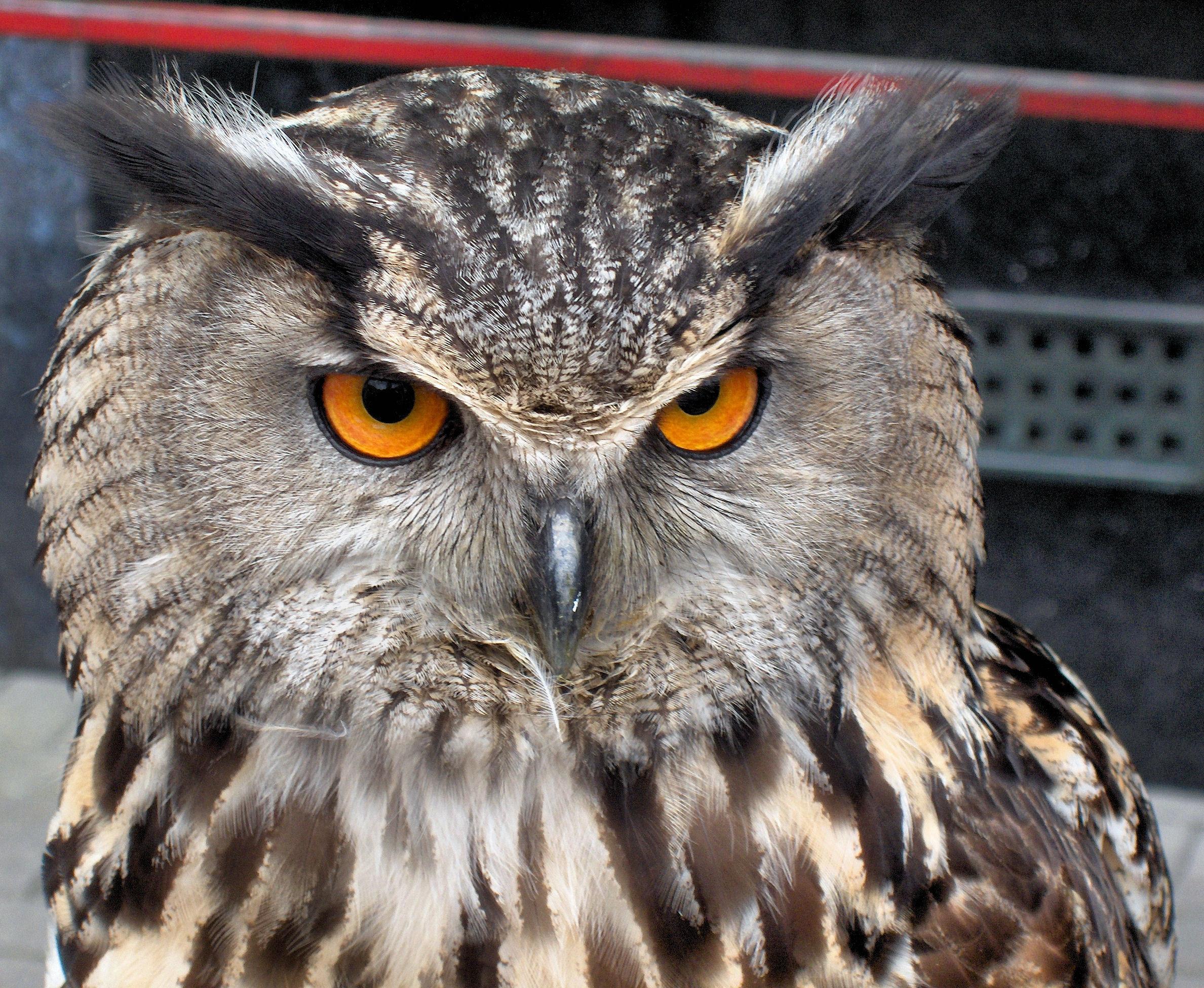 European_Eagle_Owl_-_Bubo_bubo_(598904211).jpg