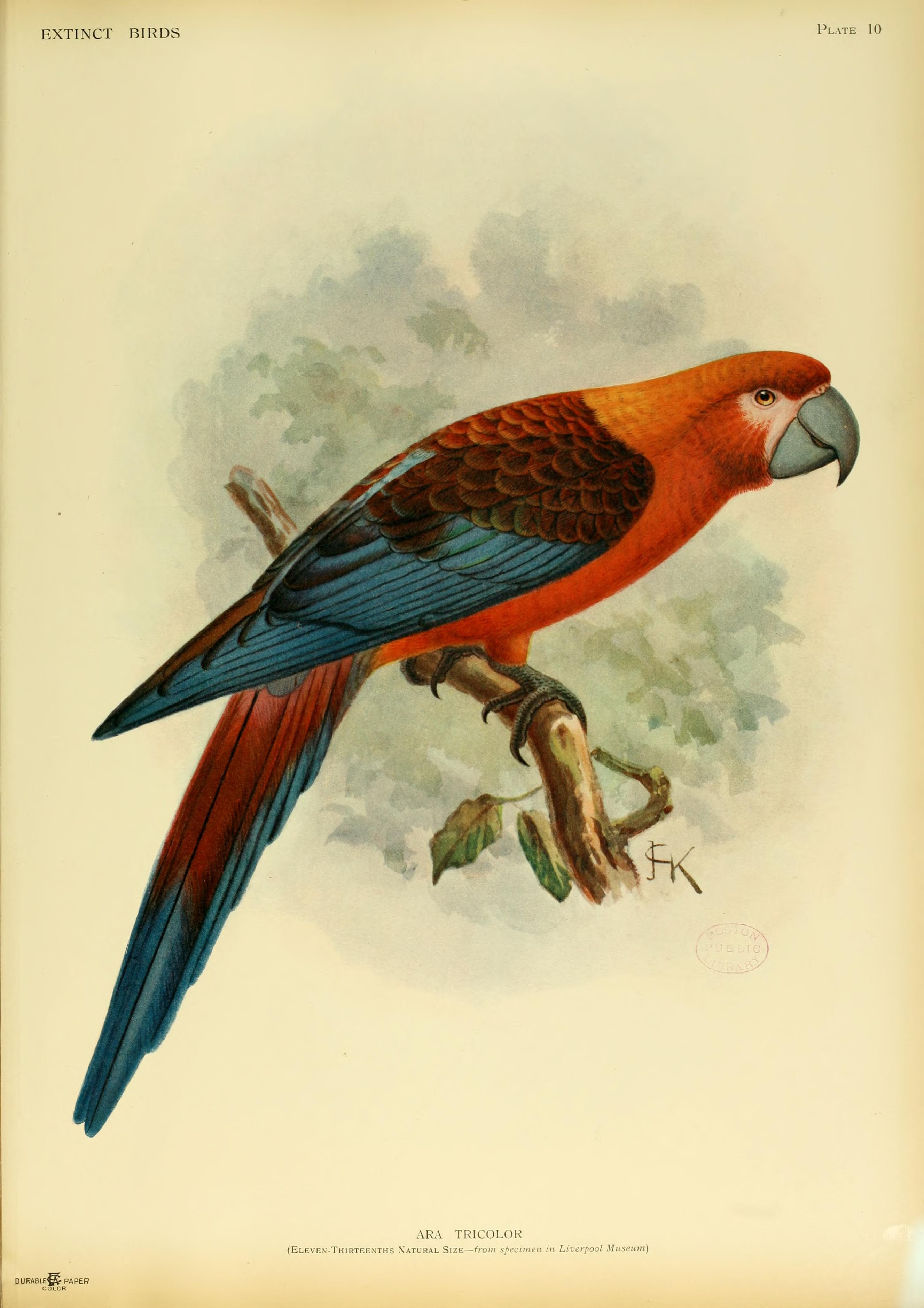 Вымершие и уничтоженные виды попугаев и других птиц Extinctbirds1907_P10_Ara_tricolor0301