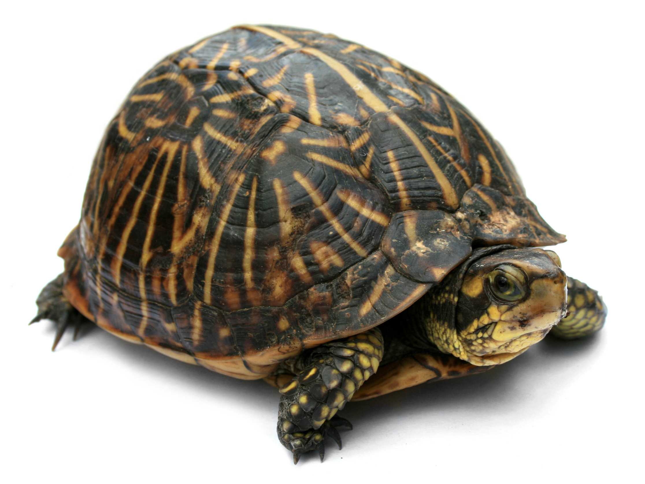 Bild: https://upload.wikimedia.org/wikipedia/commons/d/d9/Florida_Box_Turtle_Digon3a.jpg