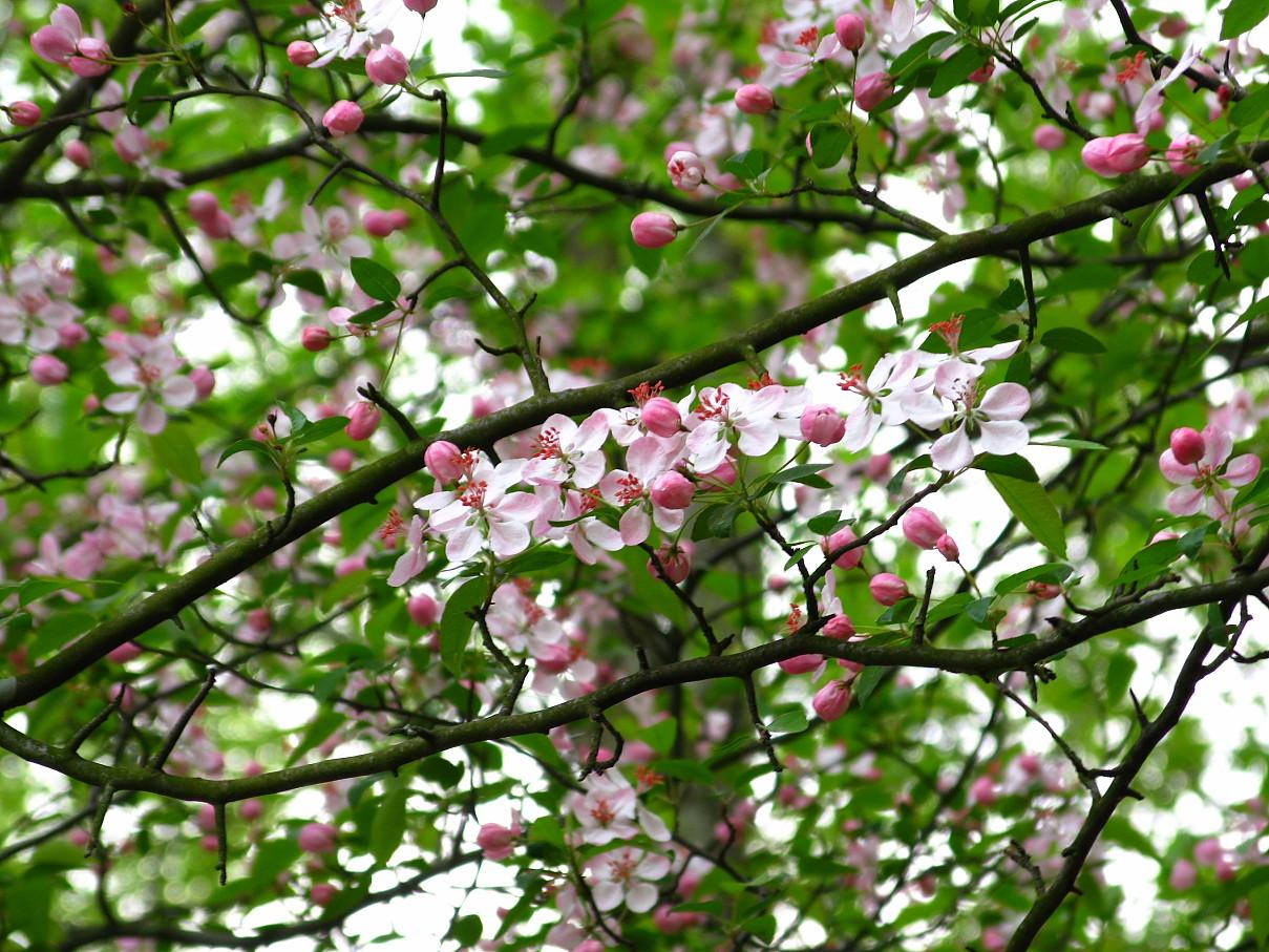 file flowery tree spring west virginia forestwander jpg