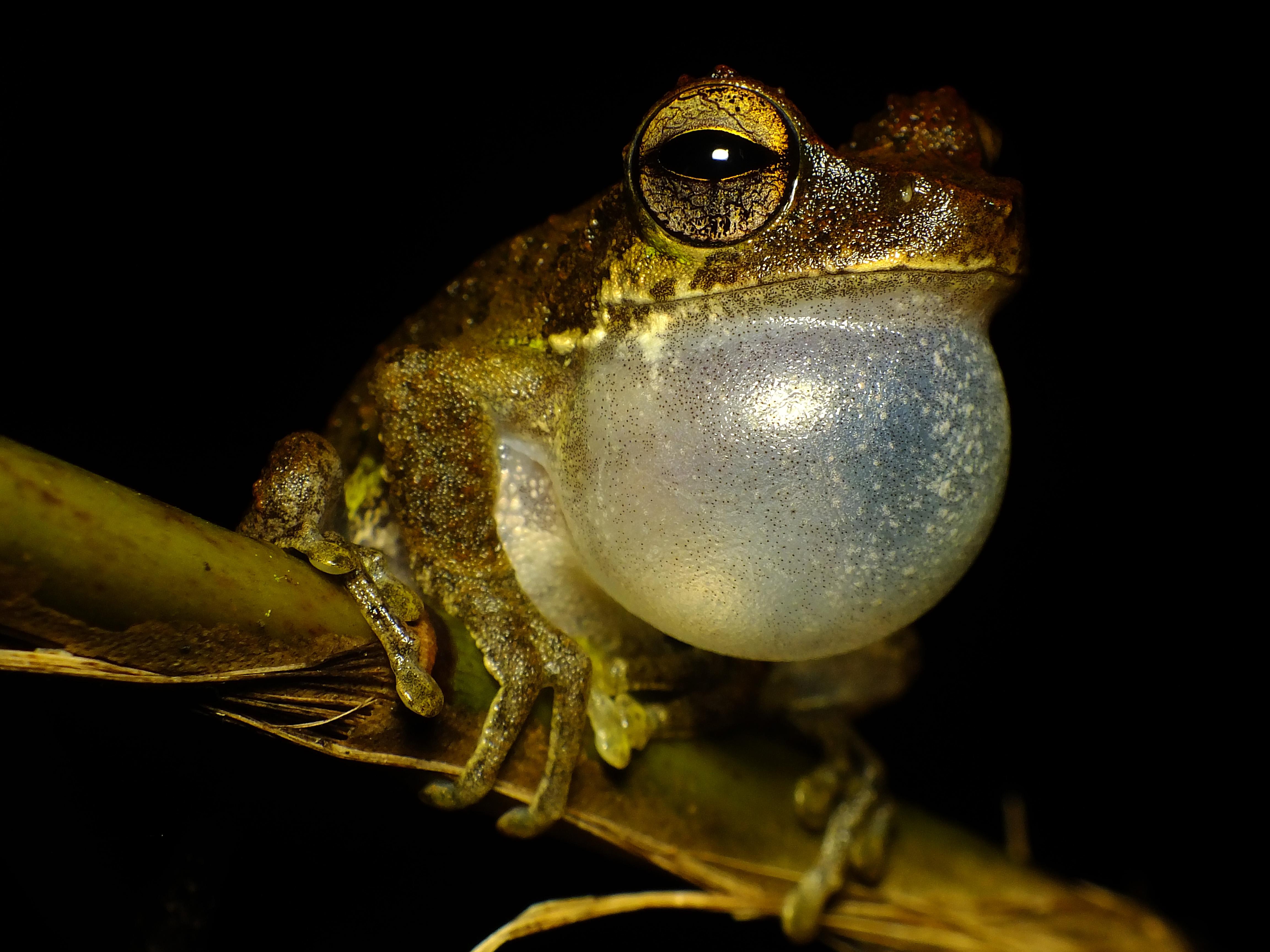 Filefrog Callingjpg Wikimedia Commons