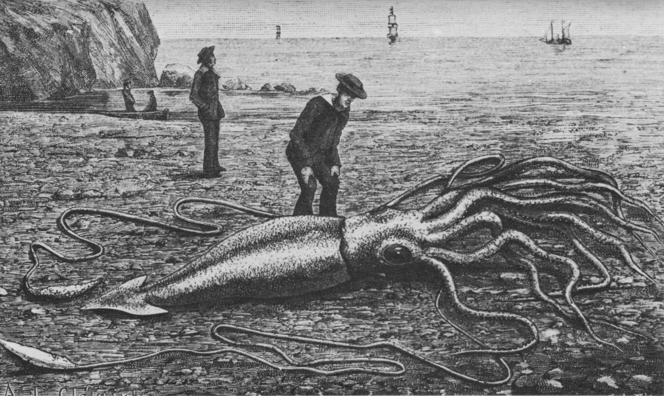 filegiant squid catalina2png wikimedia commons