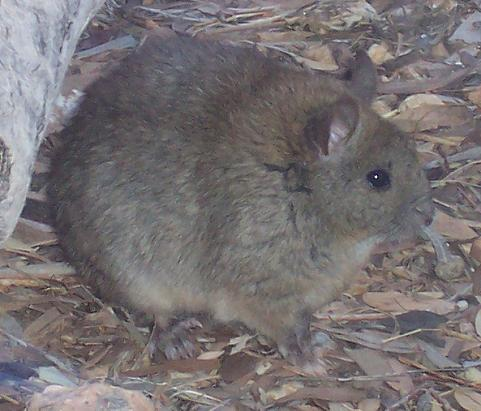 Greater Sticknest Rat