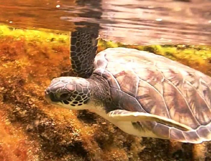 Green sea turtle cayman turtle farm.jpg