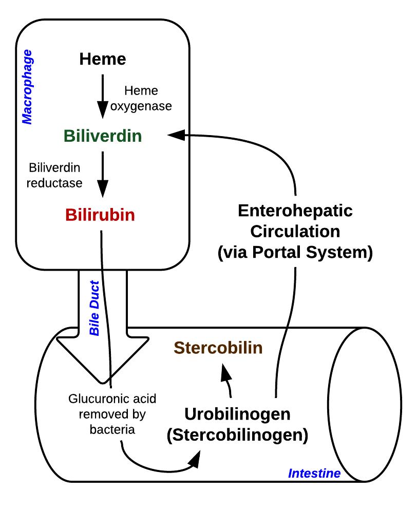 Heme and Bilirubin Metabolism