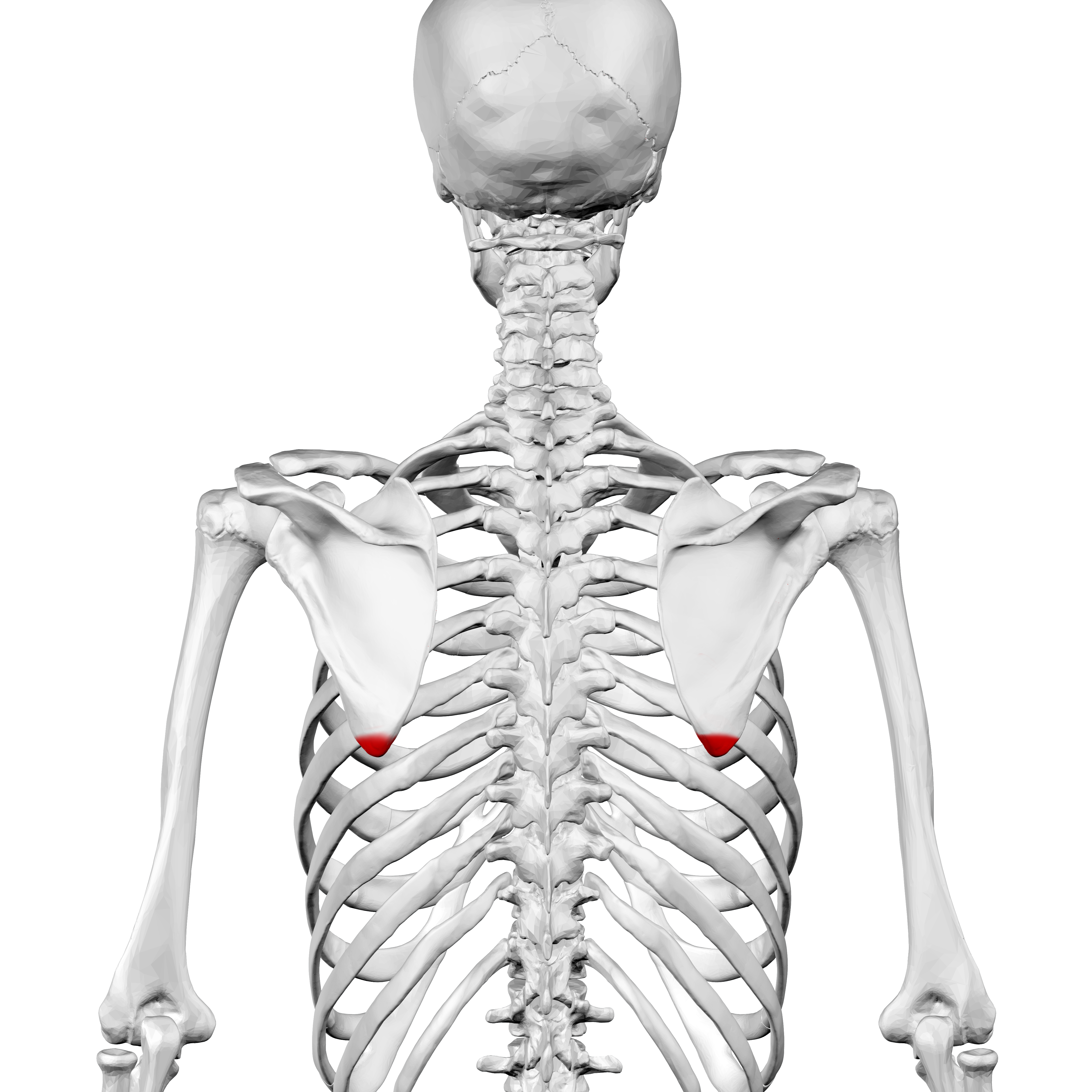 File:Inferior angle of the scapula01.png - Wikimedia Commons