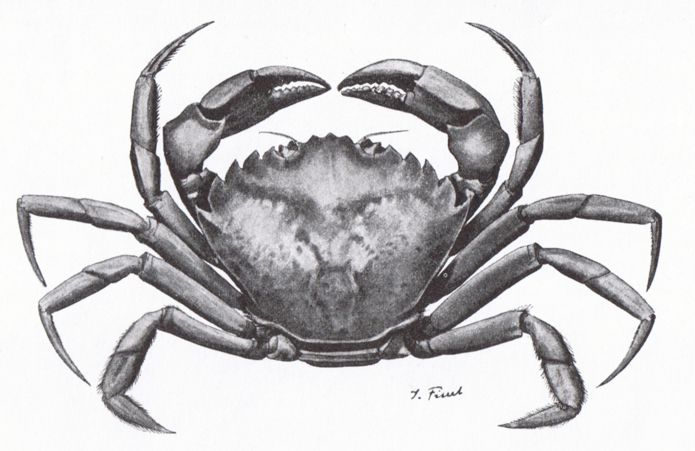 carcinus maenas  definition of carcinus maenas and