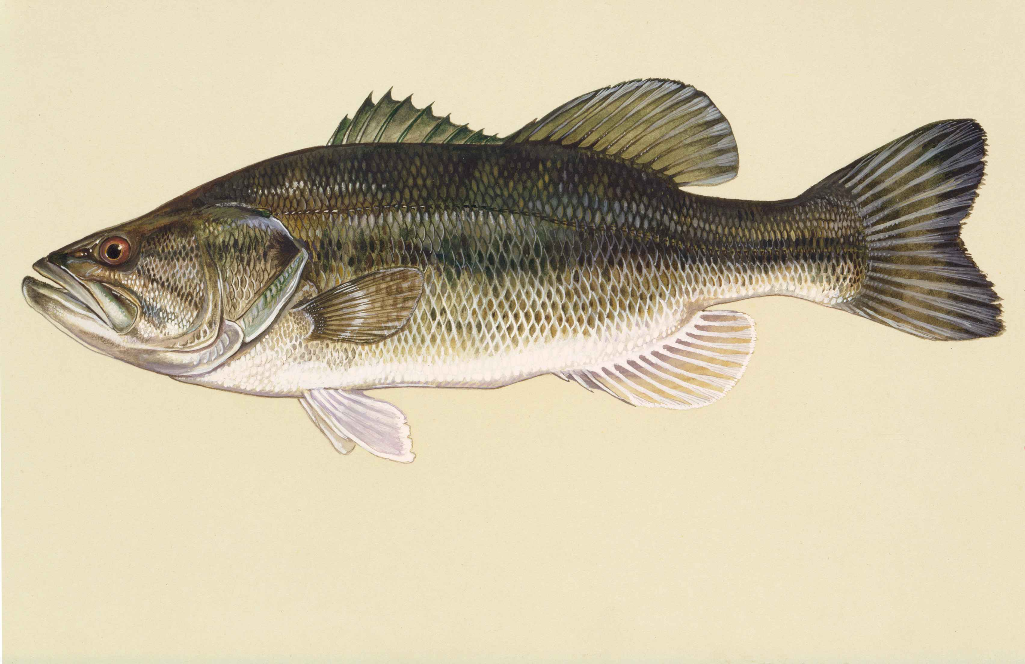 File largemouth bass fish art work micropterus for Bass fish images