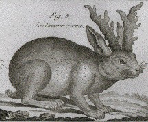 Lepus cornutus (labeled in French