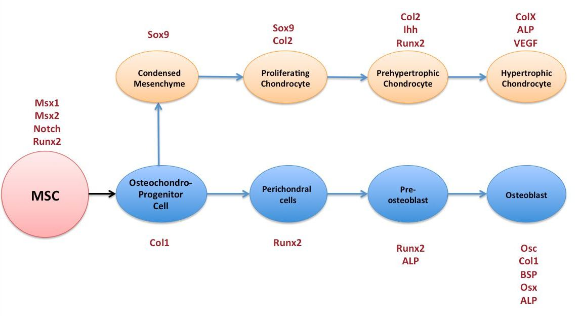 Filemsc diagram into osteoblast and chondrocyte cell lineagesg filemsc diagram into osteoblast and chondrocyte cell lineagesg ccuart Images