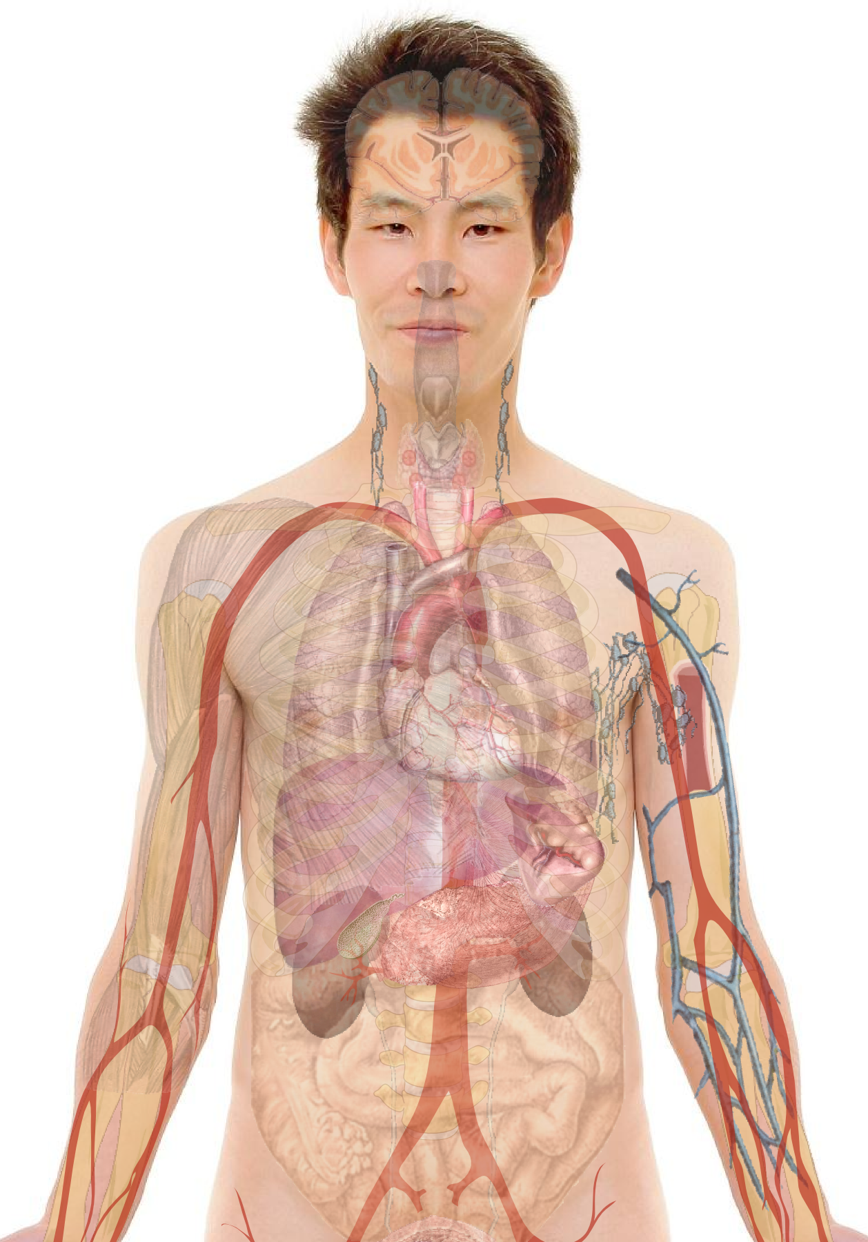 Human Body Diagrams Wikimedia Commons