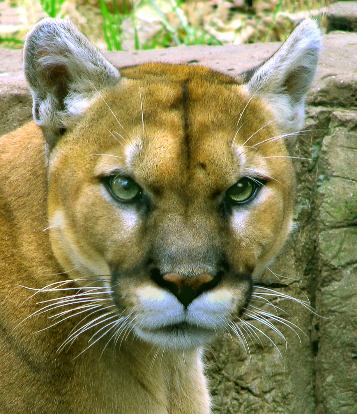 File:Mountain-lion-new.jpg - Wikimedia Commons