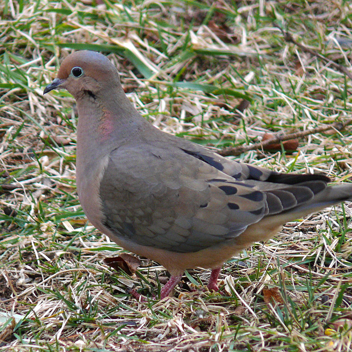 Mourning dove tattoo pictures to pin on pinterest for Mourning dove tattoo