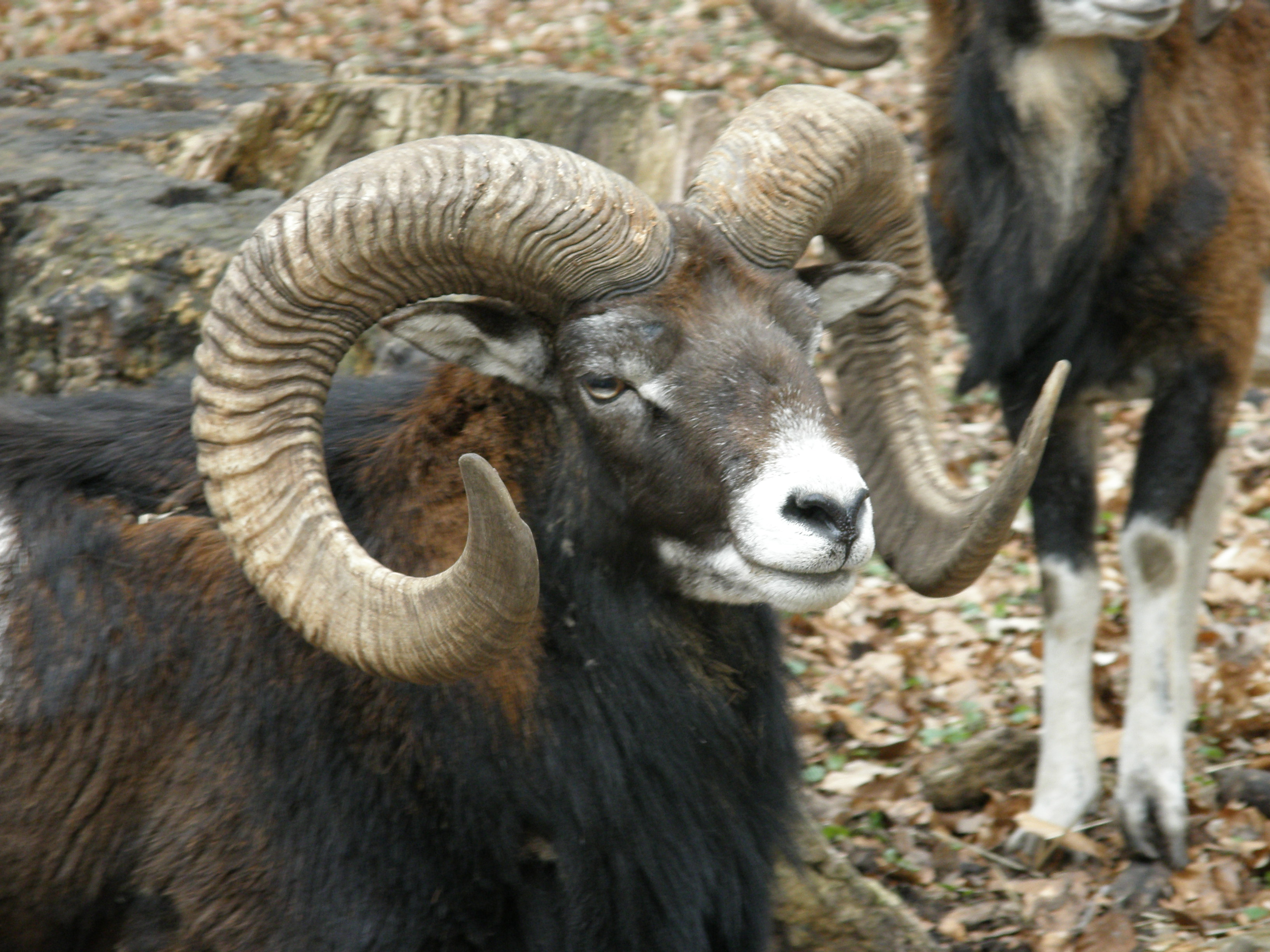 Mouflon - national animal of Cyprus