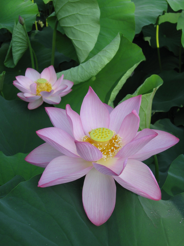 File nelumbo nucifera wikimedia commons - Fleur de lotus symbole ...