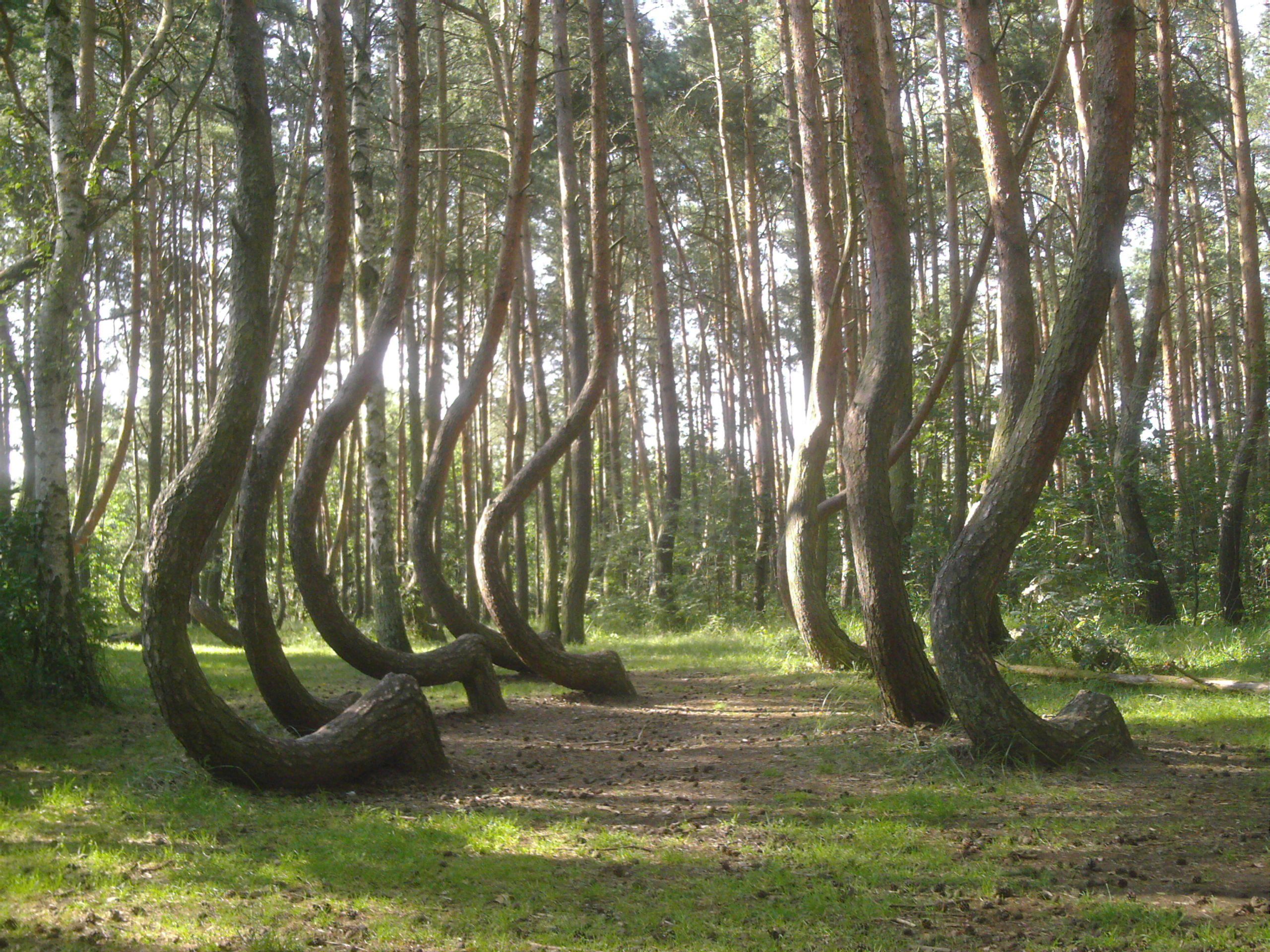 Image result for crooked forest