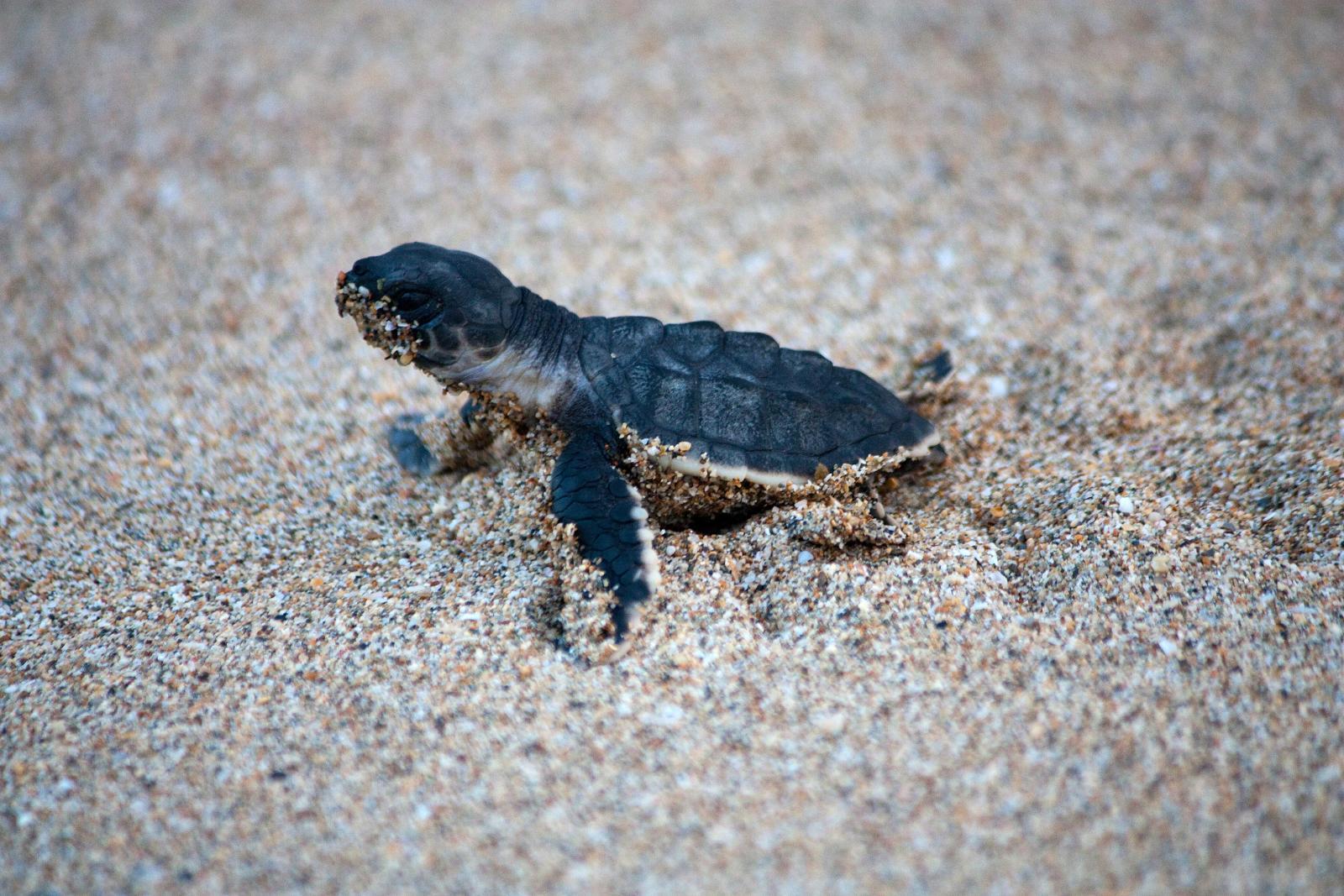 Description Oman-Young turtle.jpg