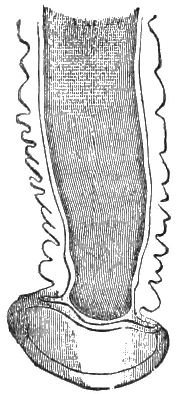 PSM V27 D378 Terminal portion of a tube foot.jpg