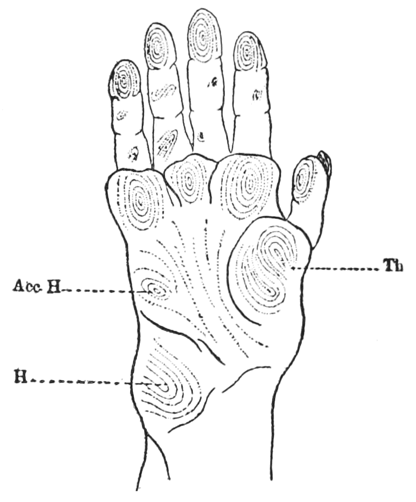 PSM V62 D051 Volar surface of right hand of large monkey.png