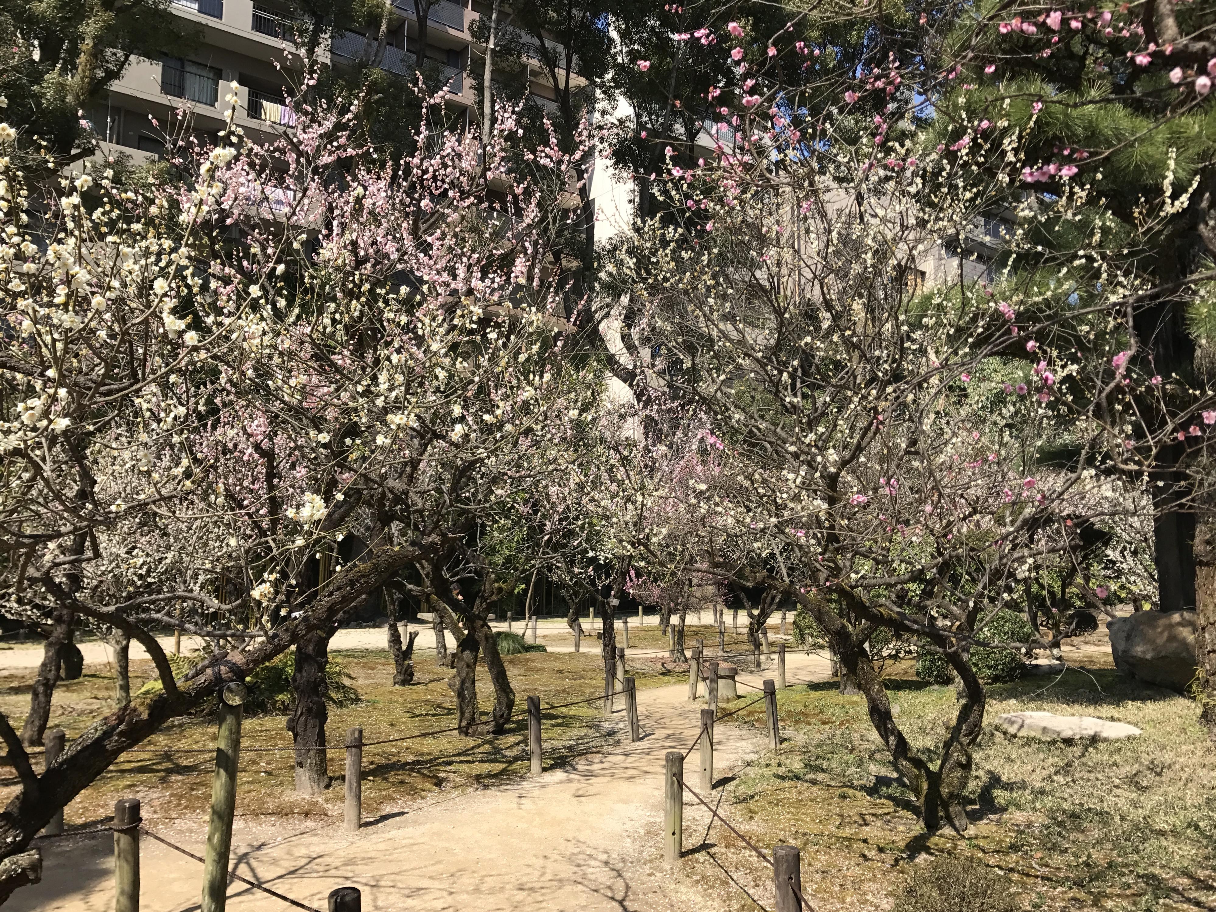 File:Plum blossoms in Shukkei Garden 4.jpg - Wikimedia Commons