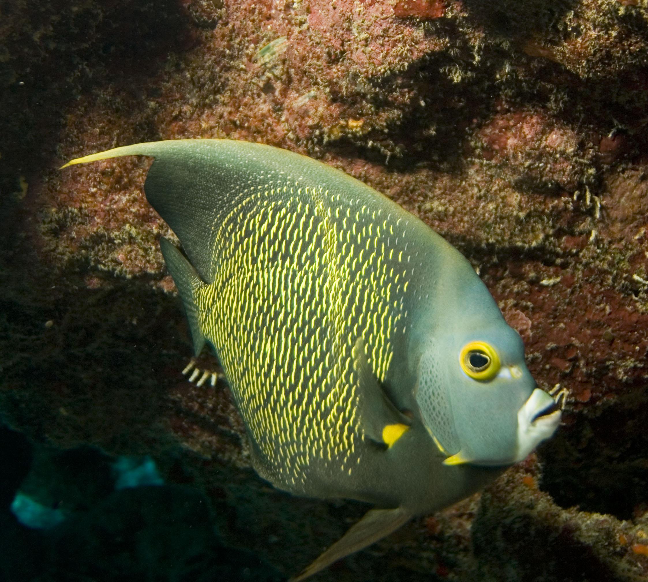 Angelfish Species